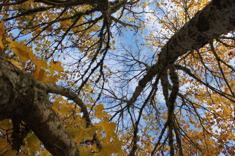 Träd med gula löv.